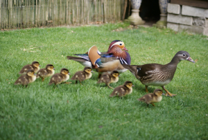 duck breeding